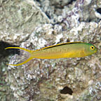 Green Canary Blenny
