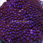 Colony Polyp, Purple Face