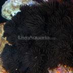 Tube Coral, Black