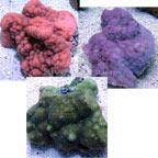 Smooth Encrusting Montipora Coral