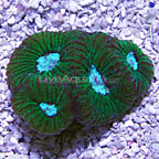 Brain Coral Goniastrea, Aquacultured USA