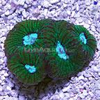Brain Coral Goniastrea, Aquacultured USA