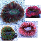 Button Coral, Cynarina