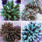 Deepwater Acropora Coral, Green