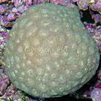 Brain Coral, Pineapple