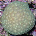 Brain Coral, Pineapple