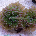 Frogspawn Coral, Thin Branched