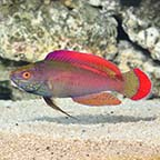 Pink Margin Wrasse