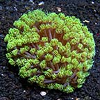 Flower Pot Coral, Long Polyp, Green