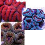 Brain Coral, Lobophyllia