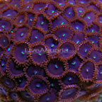 Button Polyp, Red People Eater