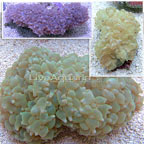 Bubble Coral, Pearl