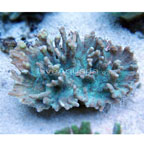 Spiny Cup Pectinia Coral