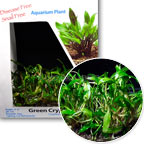 Cryptocoryne - Tissue Cultured
