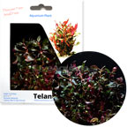 Telanthera Plant - Tissue Cultured