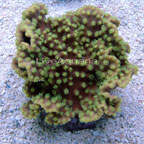 Ruffled Ridge Coral