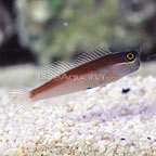 Yellow Eye Combtooth Blenny