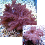 Cauliflower Colt Coral
