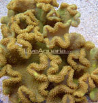 Yellow Fiji Leather Coral