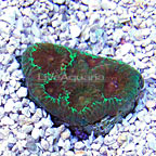 Favia Coral - Maricultured