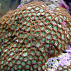Colony Polyp