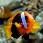Cinnamon Clownfish, Captive-Bred