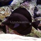 Black Longnose Tang