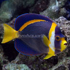 Scribbled Angelfish - Show Size