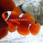 Maroon Clownfish, Captive-Bred