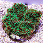 Supernatural Capricornis Coral, Aquacultured ORA®