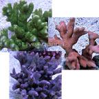 Branched Montipora Coral