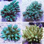 Bushy Acropora Coral, Green