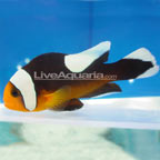 Saddleback Clownfish, Captive-Bred