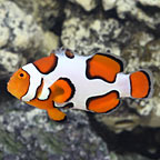 Premium Picasso Clownfish, Captive-Bred