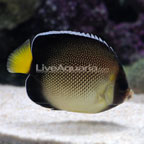 Xanthurus Cream Angelfish