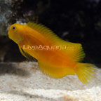 Colored Sailfin Blenny Fiji