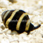Bumble Bee Snail (Build Your Own Kit)