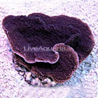Purple Montipora Capricornis, Aquacultured