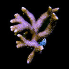 German Blue Polyp Montipora Coral - Aquacultured, ORA®