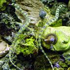 Dragonface Pipefish