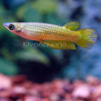 Golden Wonder Killifish, Captive-Bred