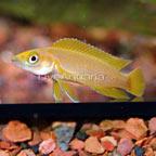 Orange Leleupi Cichlid