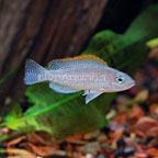 Caudopunctatus Cichlid