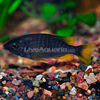 Yellowfin Borleyi Cichlid