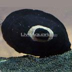 Keyhole Limpet Snail