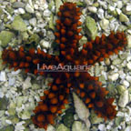 Red Thorny Sea Star