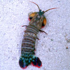 Clown Mantis Shrimp