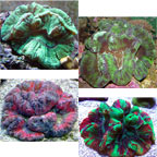 Wellso Folded Brain Coral