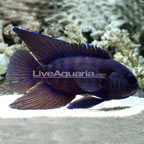 Blue Tip Longfin Grouper