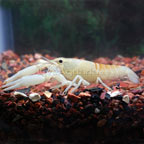 White Ghost Lobster